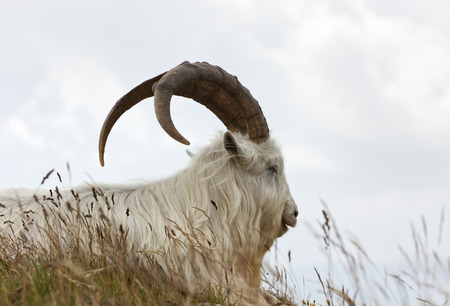 billy goat: portrait of Kashmir goat at Great Ormes Head, Llandudno, Gwynedd, North Wales Stock Photo