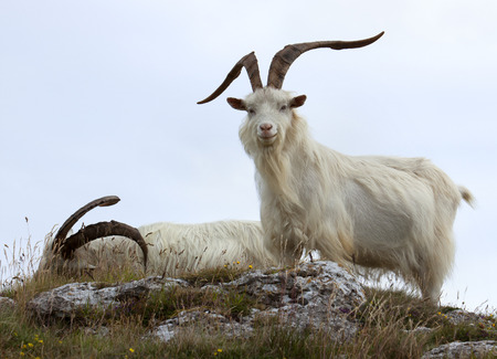 cashmere: Cashmere goats at Great Orme, North Wales