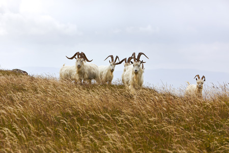 billy: Kashmir goats at Great Ormes Head, Llandudno, Gwynedd, Nort Wales Stock Photo