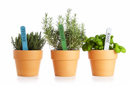 potted thyme, rosemary and basil isolated photo