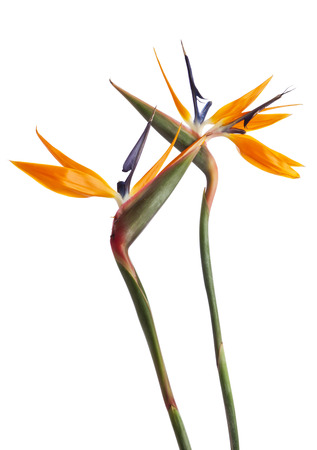 Two Strelitzia flowers isolated on white background