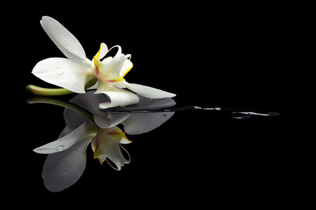 orchid blossom in a puddle on black reflective  background