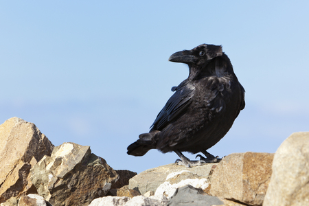corax: Common raven (Corvus Corax) on a mountain peak at Fuerteventura