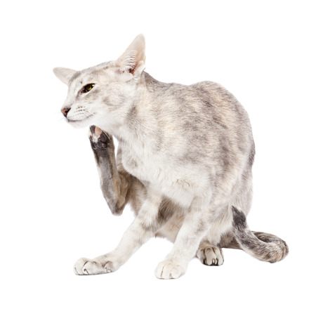 Grey tabby oriental shorthaired cat on white background scratching her head
