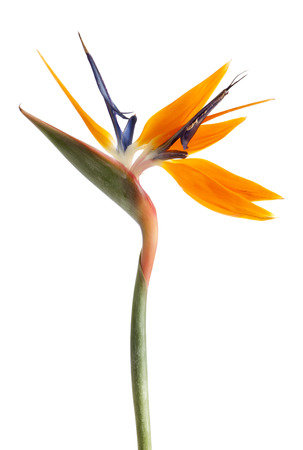 Bird of Paradise flower with two blossoms isolated on white background