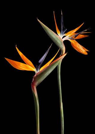 Two Strelitzia flowers on black background photo