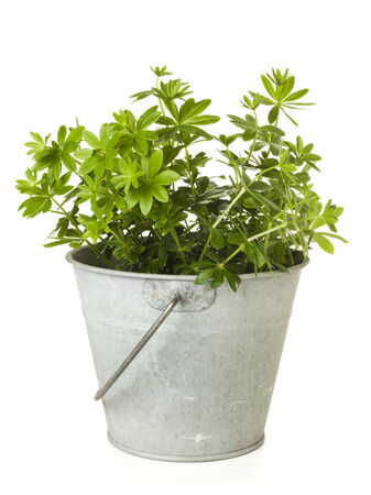 woodruff: sweet woodruff plant in tin bucket isolated on white background