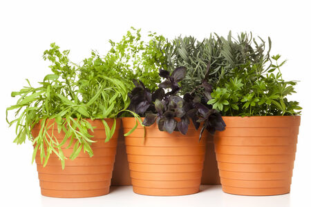 tarragon, chervil, red basil, lavender and sweet woodruff planted in pots, isolated on white photo