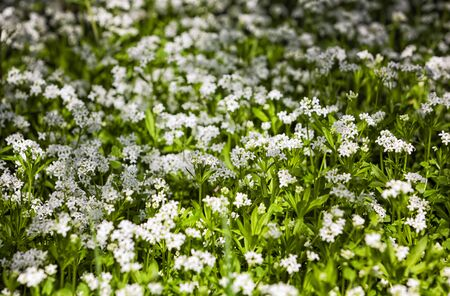 sweet woodruff: Sweet woodruff growing on the edge of a forest