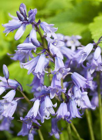 bluebell: Closeup of Hybrid Bluebell flower