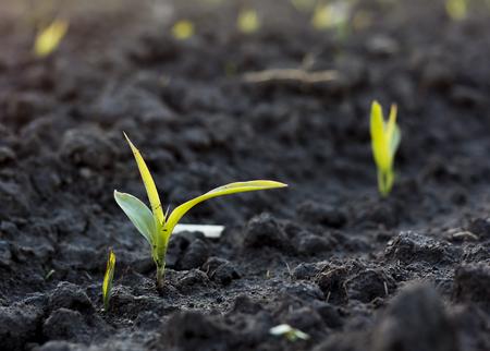 maiz: Peque�o brote de la planta de ma�z en el suelo negro en un presentadas Foto de archivo