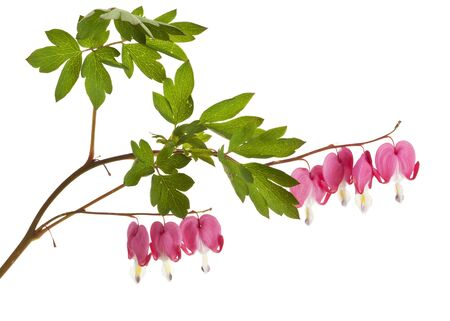 hearts and flowers: Lamprocapnos spectabilis or Bleeding Heart flower isolated on white Stock Photo