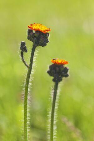 hawkweed: Orange hawkweed or foxandcubs flower in backlighting