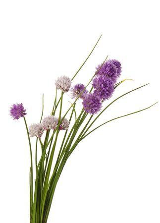 cebollines: floración cebollino aisladas sobre fondo blanco