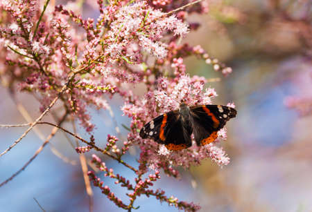 admiral: Admiral butterfly sucking on blossom of Tamarix tree