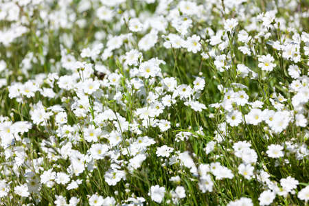 cerastium tomentosum: Background of flowers Snowinsummer Stock Photo