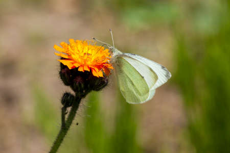 hawkweed: Small white cabbage butterfly on Devil39s Paintbrush flower Stock Photo