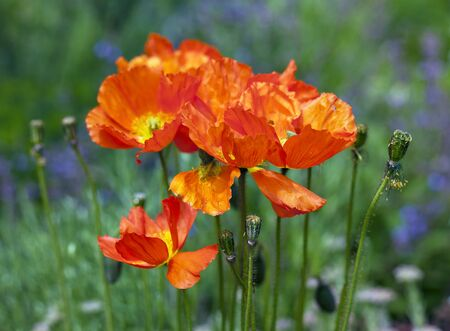faded: Blooming and faded orange iceland poppy flowers