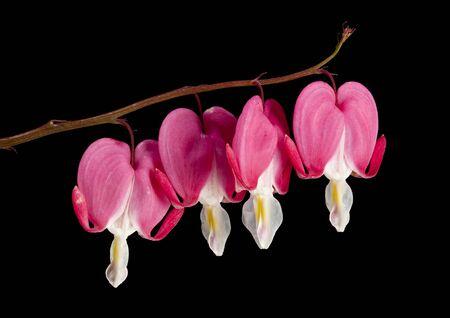 hemorragias: Sangrado flores de corazón aislado en el fondo negro