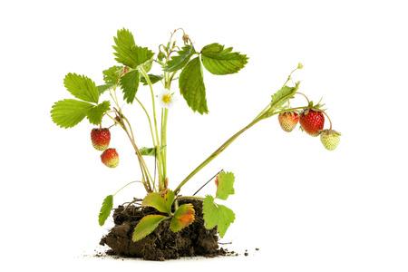 raices de plantas: Planta de fresa con las raíces y el suelo aislado en el fondo blanco