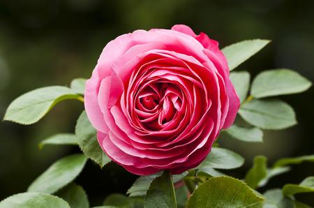 rose-bush: closeup of a beautiful pink rose on a rosebush