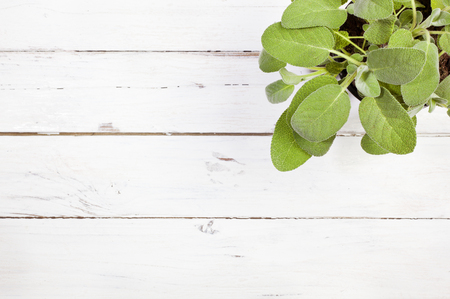 high angle: High angle view of sage plant on white wooden table with copy space