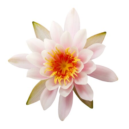 waterlily: closeup top view of Nymphaea Peach Glow waterlily isolated on white background