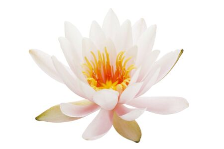 nymphaea: Nymphaea Peach Glow waterlily isolated on white background