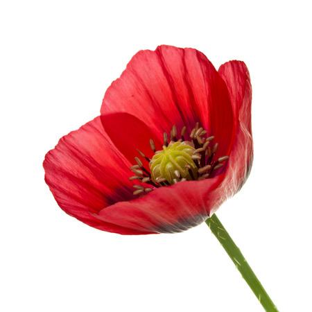 poppy flower: Closeup of red opium poppy flower isolated on white Stock Photo