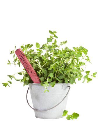 oregano plant: Oregano plant with flower tag in tin bucket isolated on white background