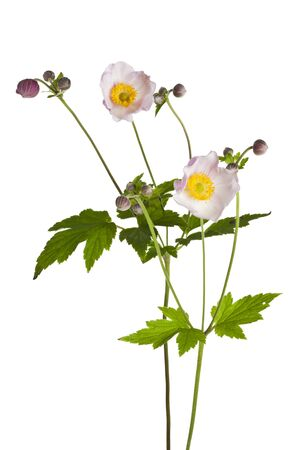 windflower: blooming Anemone hupehensis or windflower plants isolated on white background