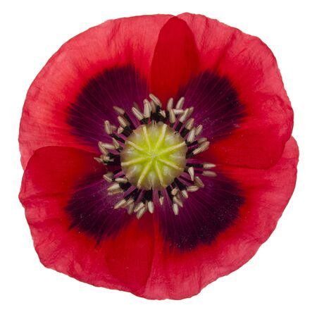 red poppy blossom isolated with clipping path on white background Stock Photo