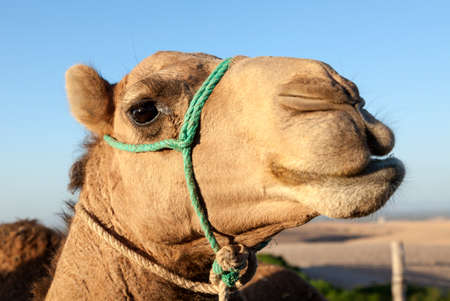 dromedary: Portrait of dromedary at moroccan desert