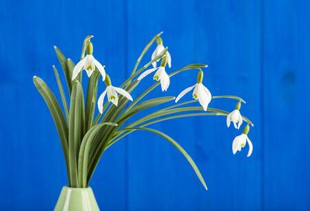 cloesup: Closeup of snowdrops flowers in a vase with a blue background Stock Photo