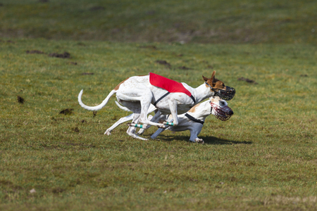 hounds: Duel of two Magyar Agar hounds at coursing race