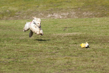 afghan: Afghan hound in flight at coursing