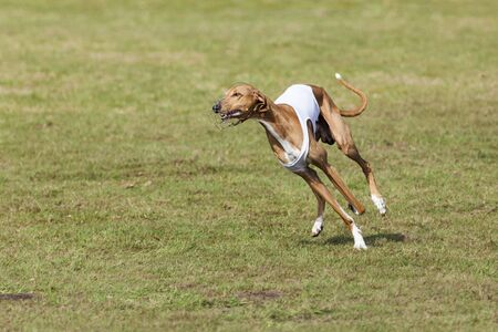 hound: purebred Azawakh sight hound running at coursing race competition