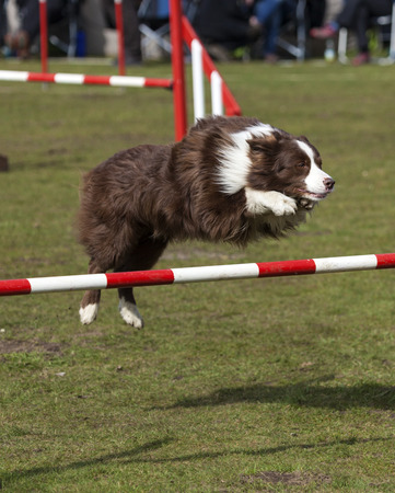 hurdle: Brown Border Collie dog jumping over hurdle at agility contest