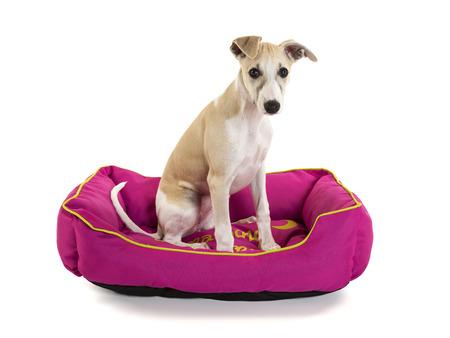 Cute cucciolo whippet seduta nel suo letto del cane rosa isolato su sfondo bianco