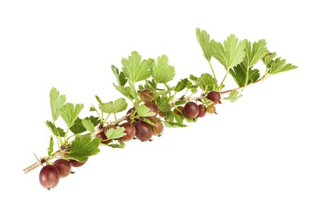gooseberry bush: Branch with red Gooseberries isolated on white Stock Photo
