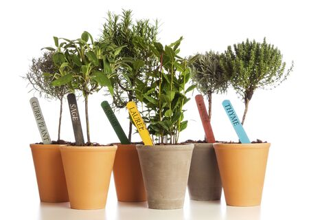 shrubs: Selection of herbs used in Mediterranean cuisine planted in flower pots isolated on white background.