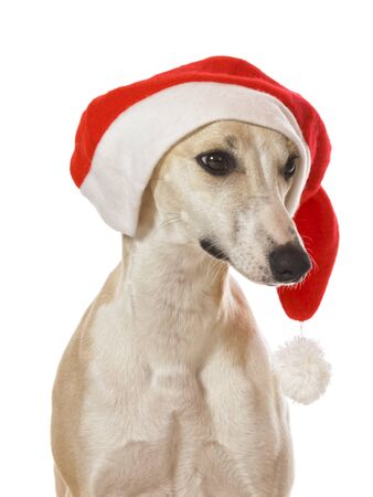Whippet sighthound christmas portrait costumed with Santa hat isolated on white background