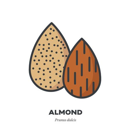 Almond nut fruit icon, outline with color fill style vector illustration 일러스트