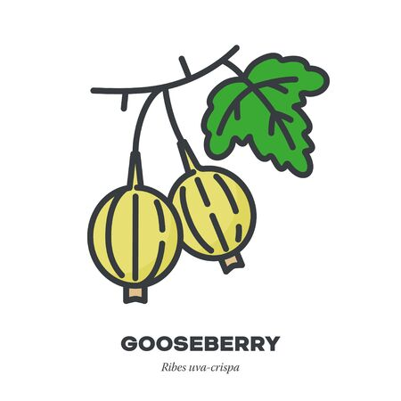 Gooseberry fruit icon, outline with color fill style vector illustration, fruit and leaf