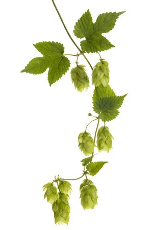 Vine with hops (Humulus lupulus) isolated on white background Foto de archivo - 130503961