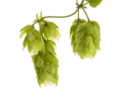 Macro of ripe common hops fruits on a vine isolated on white background Foto de archivo - 130503975