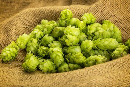 Fresh ripe hop cones on burlap sack closeup Stock Photo