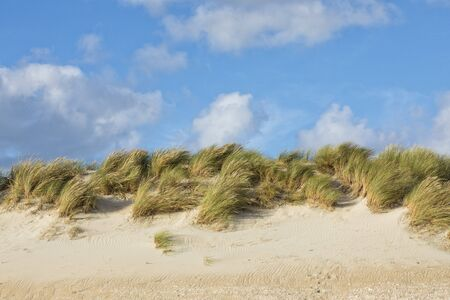 Dunegrass in the wind on dune at Danish North Sea coast, partially cloudy blue sky