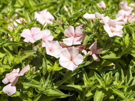 Bright pink Phlox blossoms on a shrub