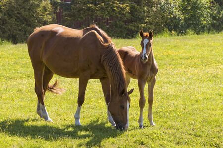 Chestnut horses, mare with foal on meadow in bright sunlight Banque d'images
